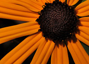 Large Format Prints - Black-eyed Susan Print by Paul Ward