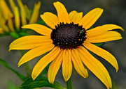 Green Foliage Posters - Black Eyed Susan Poster by Robert Harmon
