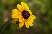Black Eyed Susan Print by Teresa Zieba