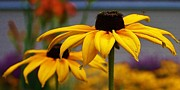 Black-eyed Susan Framed Prints - Black Eyed Susan Up Close Framed Print by Bruce Bley