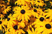 Black-eyed Susan Framed Prints - Black-eyed Susan Framed Print by Zach Pahl