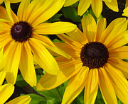 Floral  Art Framed Prints - Black-eyed Susans Close Up Framed Print by Suzanne Gaff