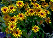 Floral Notecards Posters - Black-Eyed Susans Poster by Dale   Ford