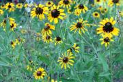 Wildflower Photography Prints - Black eyed Susans Print by Evelyn Patrick