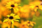 Black Eyed Susans Framed Prints - Black Eyed Susans Framed Print by Jim Dohms