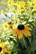 Black Eyed Susan Print Prints - Black Eyed Susans Print by Penny Neimiller