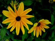 Unfold Framed Prints - Black-Eyed Susans Framed Print by Robert Knight