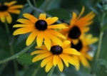 Black Eyed Susans Framed Prints - Black-Eyed Susans Framed Print by Sabrina L Ryan