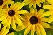 Black Eyed Susan Framed Prints - Black Eyed Susans Framed Print by Suzanne Gaff