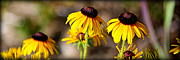 Yellow Photographs Prints - Black Eyed Susans Print by Tam Graff