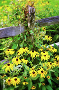 Country Cottage Photos - Black Eyed Susans by Thomas Schoeller
