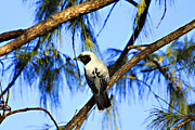Cuckoo Photos - Black Faced Cuckoo Shrike V3 by Douglas Barnard