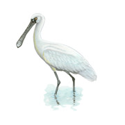 Spoonbill Drawings Metal Prints - Black-Faced Spoonbill Metal Print by Lionel Portier