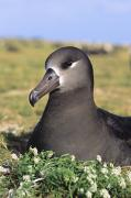 Reggie Prints - Black Footed Albatross Print by Reggie David - Printscapes