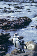 Penguins Photos - Black-footed Penguins by Alexis Rosenfeld