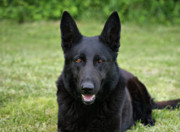 Shepherds Posters - Black German Shepherd Dog II Poster by Sandy Keeton