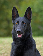Shepherds Photo Posters - Black German Shepherd Dog Poster by Sandy Keeton
