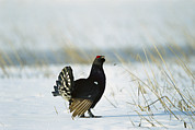 Black Grouse Tetrao Tetrix Print by Konrad Wothe