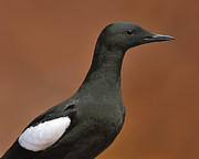 Breeding Posters - Black Guillemot Poster by Tony Beck