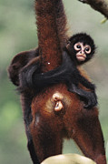 Two Handed Framed Prints - Black-handed Spider Monkey Ateles Framed Print by Christian Ziegler