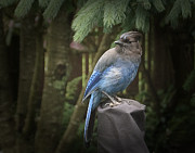 Bluejay Metal Prints - Black Headed Blue Jay Metal Print by Don Saxon
