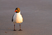 Sea Gull Photos - Black Headed Gull by Adam Pender