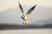 Flying Gull Posters - Black-headed Gull Flying Over Lake Starnberg Poster by Olaf Broders