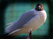 Blackheaded Art - Black Headed Gull  by Sunil Bhardwaj