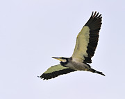 Kenya Photos - Black-headed Heron by Tony Beck