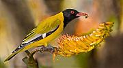 Feeding Birds Posters - Black-headed Oriole Poster by Basie Van Zyl