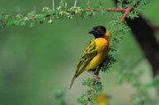 Tony Beck Posters - Black-headed Weaver Poster by Tony Beck