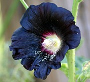 Jeff Murphy - Black Hollyhock