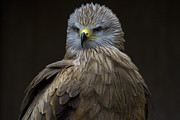 Kites Photos - Black Kite 1 by Heiko Koehrer-Wagner