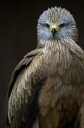 Kites Metal Prints - Black Kite 2 Metal Print by Heiko Koehrer-Wagner