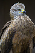 Kites Metal Prints - Black Kite 4 Metal Print by Heiko Koehrer-Wagner