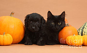 Orange Pumpkins Framed Prints - Black Kitten & Puppy With Pumpkins Framed Print by Mark Taylor