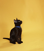 Pet Collar Posters - Black Kitten In Collar, Studio Shot Poster by Peety Cooper