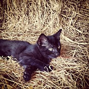 Feline Art - Black kitten in hay #3 by Rex Pennington