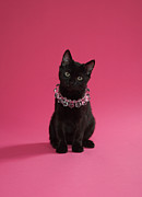 Black Kitten Wearing Jewelled Necklace, Studio Shot Print by Peety Cooper