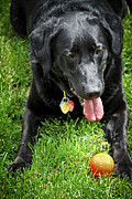 Breed Prints - Black lab dog with a ball Print by Elena Elisseeva