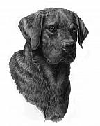 Dogs Drawings Posters - Black Lab Head Study 2 Poster by Laurie McGinley