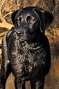 Wet Digital Art - Black Labrador Retriever Dog by Cathy  Beharriell