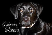 Cathy  Beharriell - Black Labrador Retriever Portrait