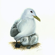 Black Bird Drawings Prints - Black-legged Kittiwake Parent and Chick Print by Logan Parsons