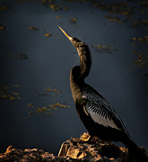 Anhinga Art - Black Light by Steven Sparks