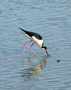 Snowy Night Photo Posters - Black Neck Stilth Poster by Jean Marshall