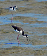Marsh Prints - Black-necked Stilt Print by Betty LaRue