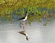 Patricia Griffin Brett - Black-Necked Stilt II