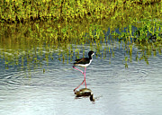 Tropical Bird Art Print Framed Prints - Black-Necked Stilt III Framed Print by Patricia Griffin Brett