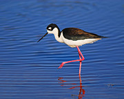 Sandpiper Acrylic Prints - Black-necked Stilt Acrylic Print by Tony Beck